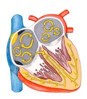 Hjärtats elektricitet